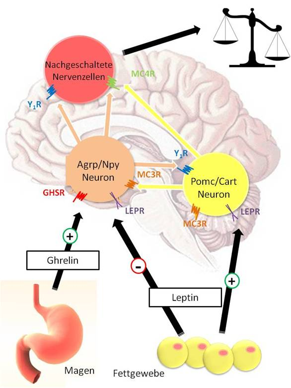 Image result for MC4R Gene