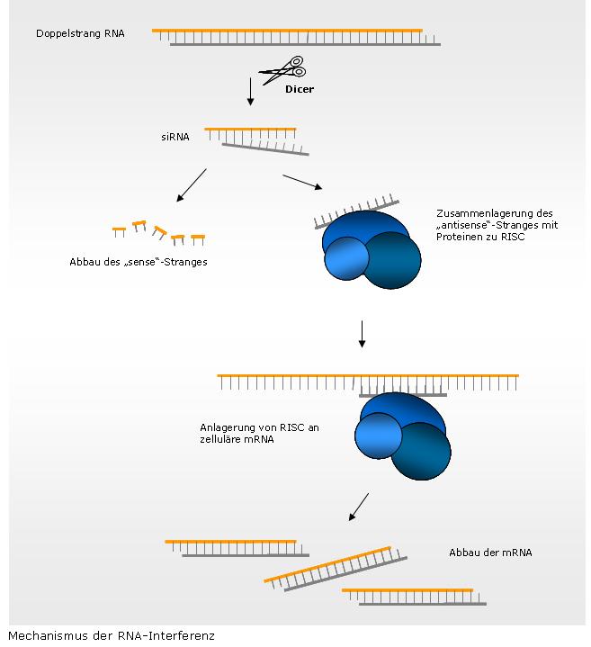 cytoplasma einfach erklärt